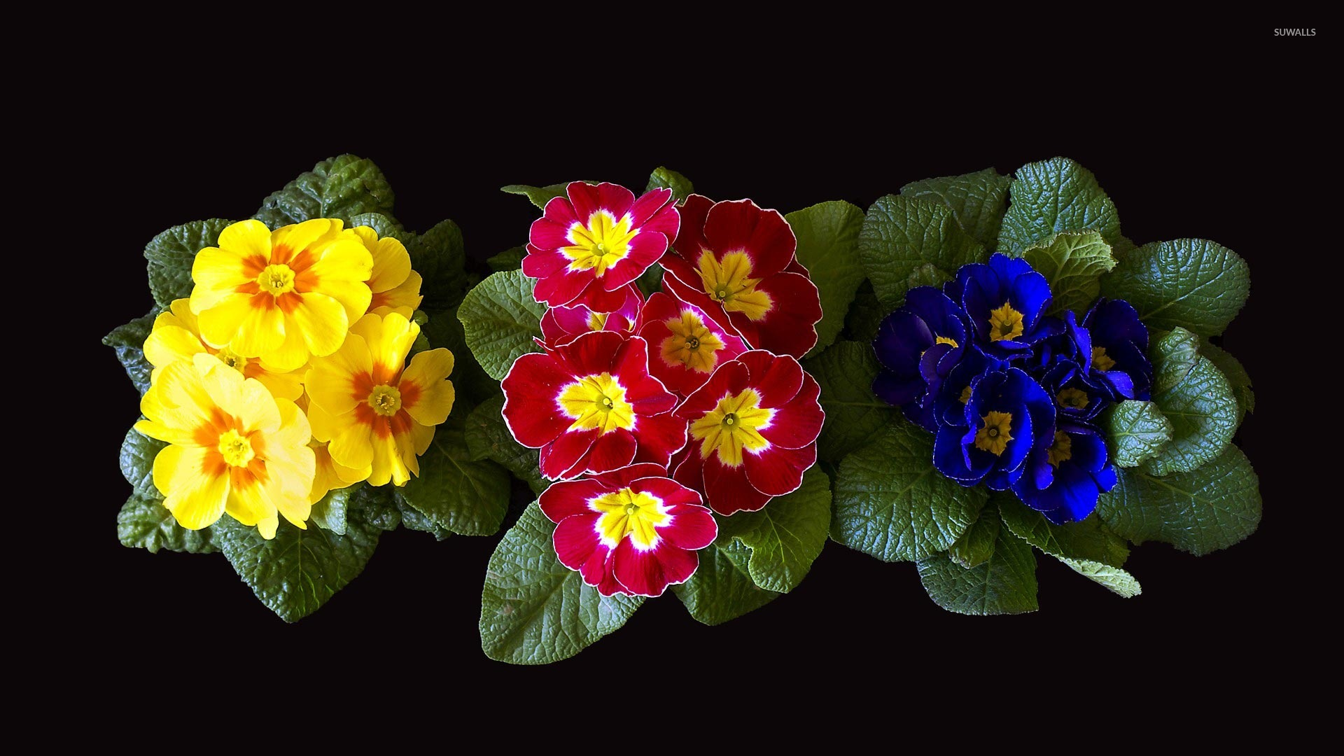 Colorful Primulas Flowers Rising From Basal Rosettes Of Leaves 48119 1920×1080 Wallpaper