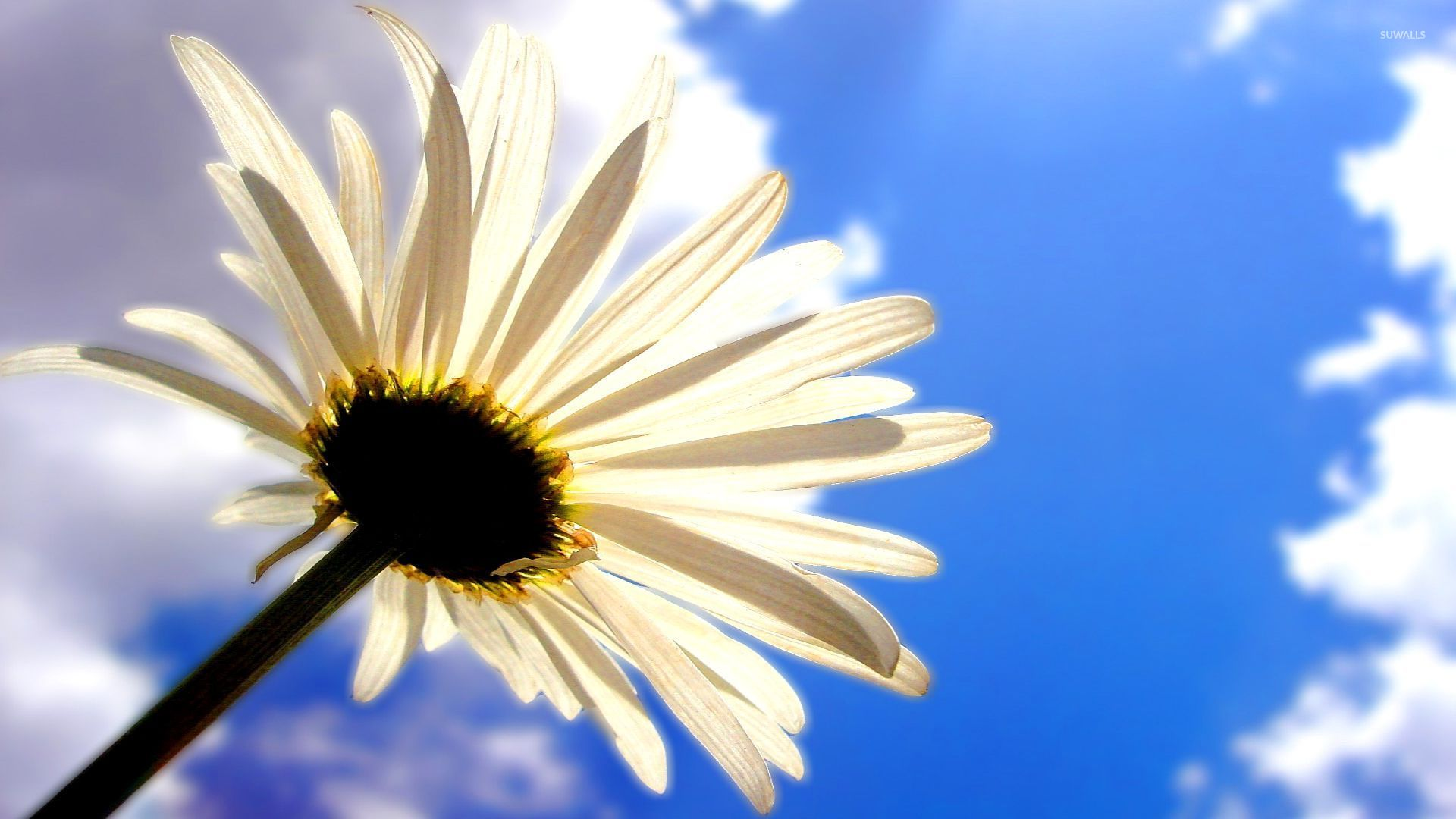Daisy In The Clouds 52887 1920×1080 Wallpaper