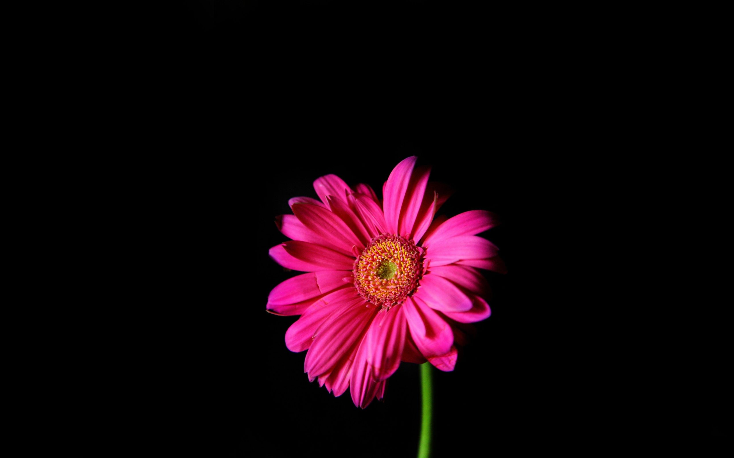 Flowers Pink Daisy Black Background