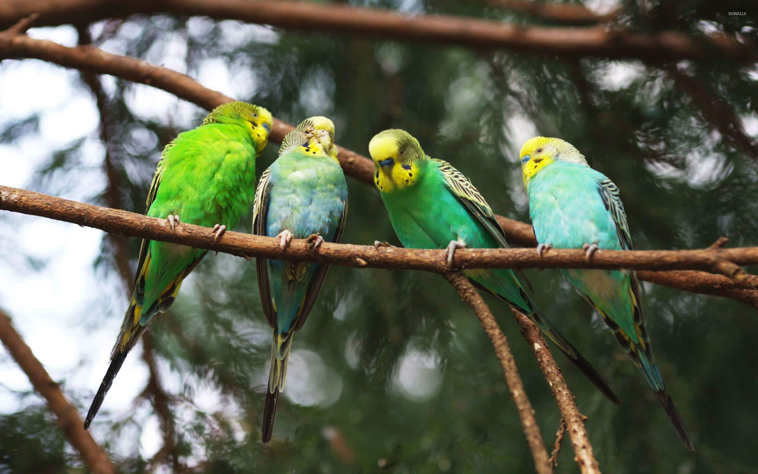 Green Parrots On The Branch 53619 2560×1600 Wallpaper