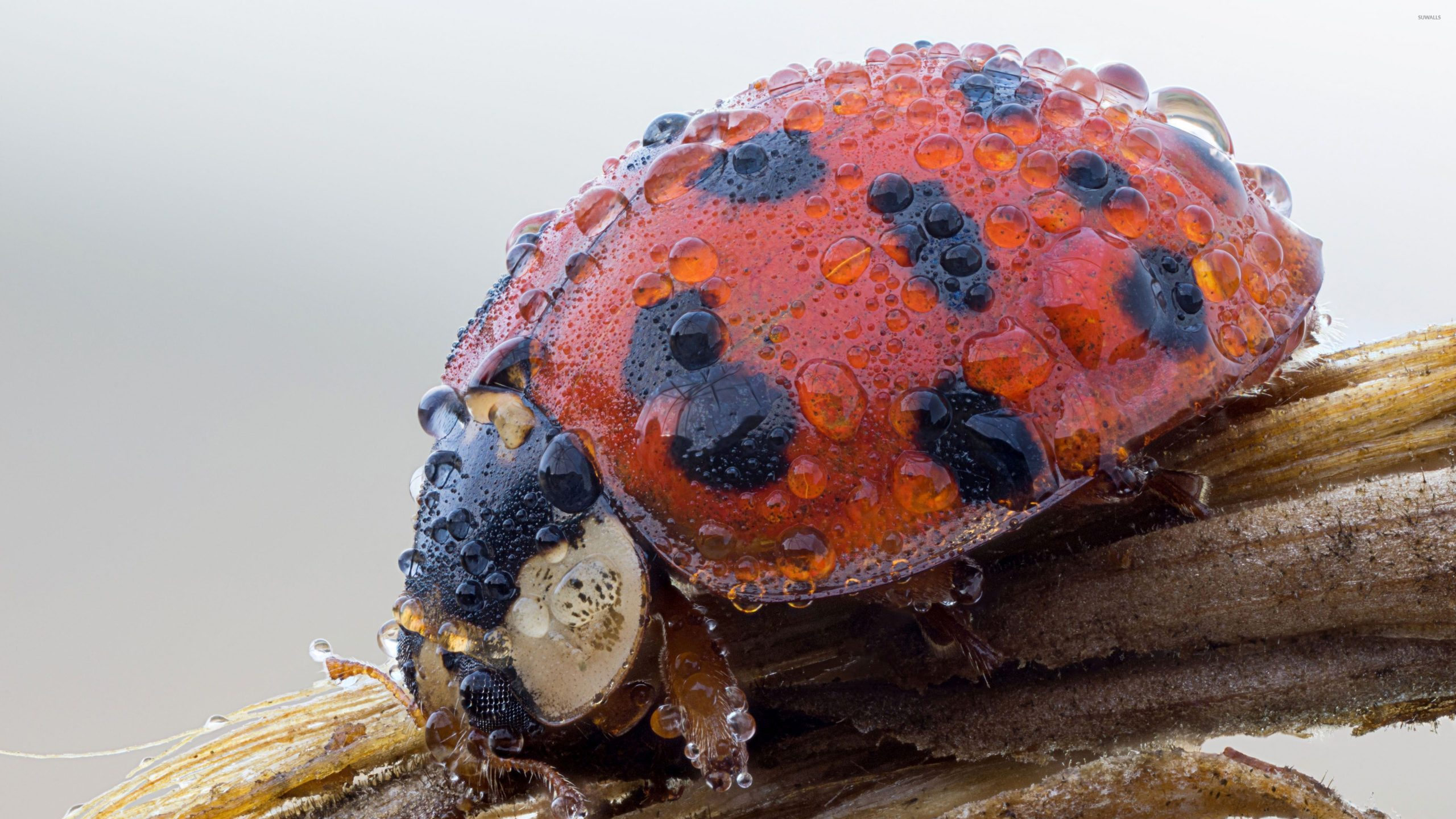 Ladybug With Water Drops 46747 3840×2160 Wallpaper