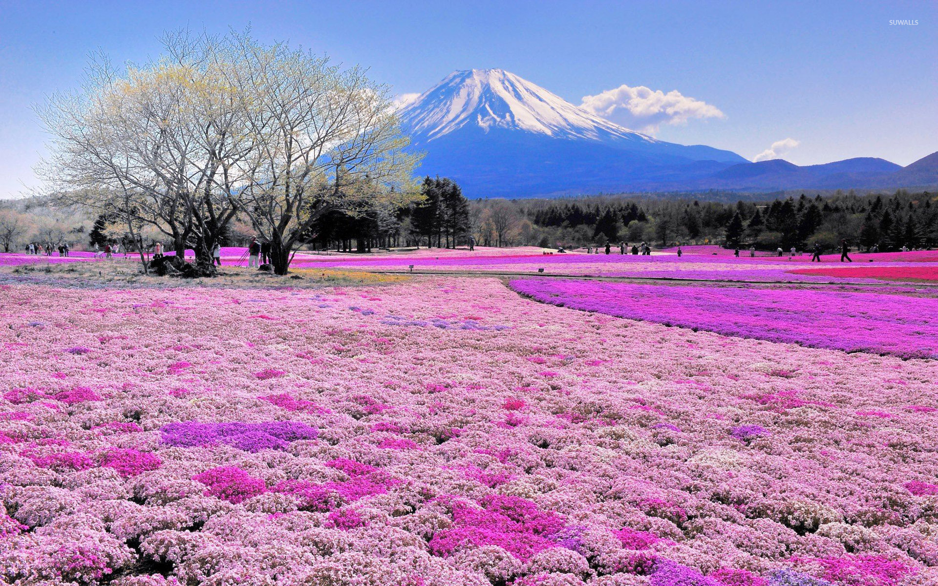 Pink-flower-field-and-mount-fuji-1920×1200