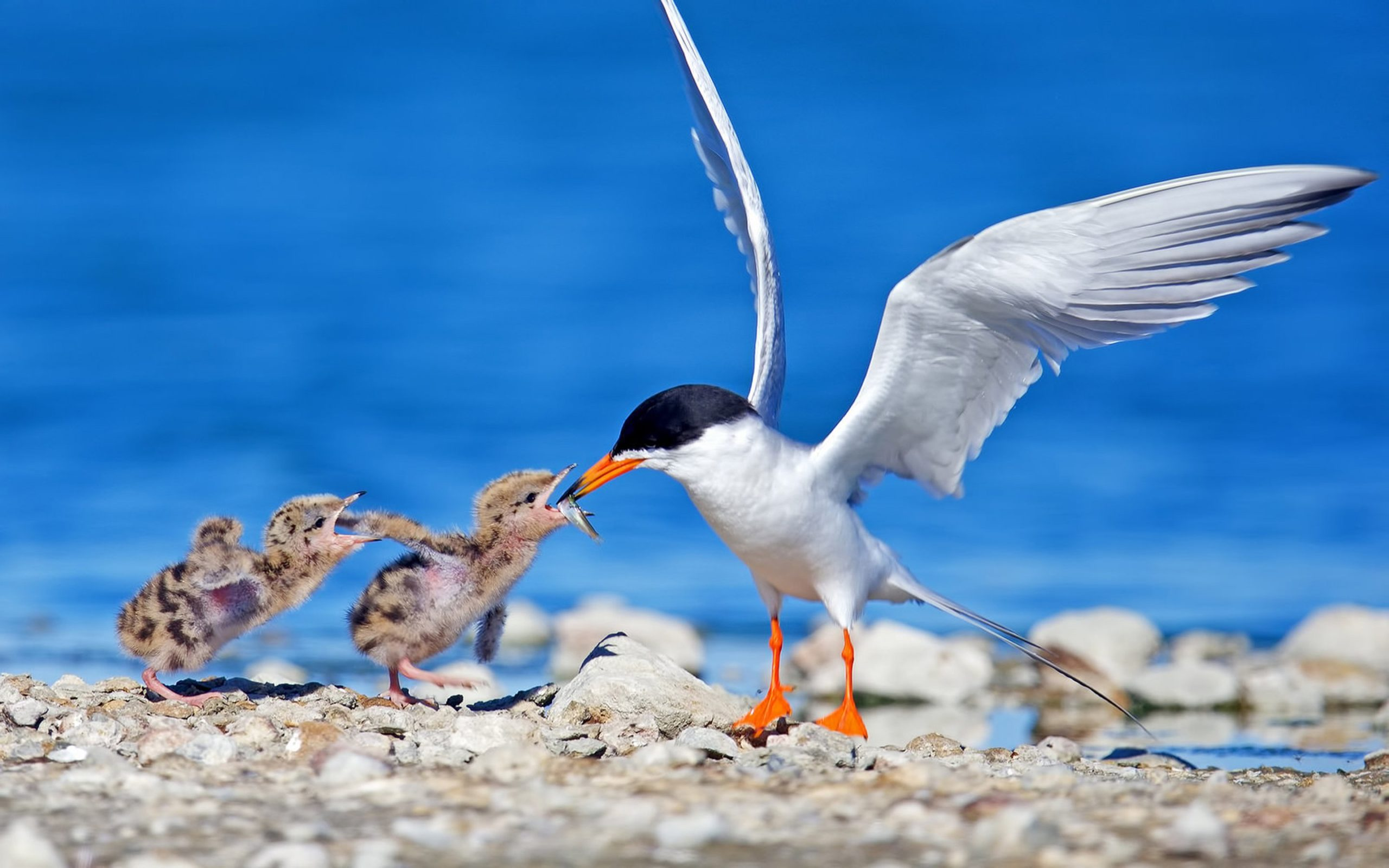 Sea-Gull-Bird-And-Two-Chicks-Wallpaper