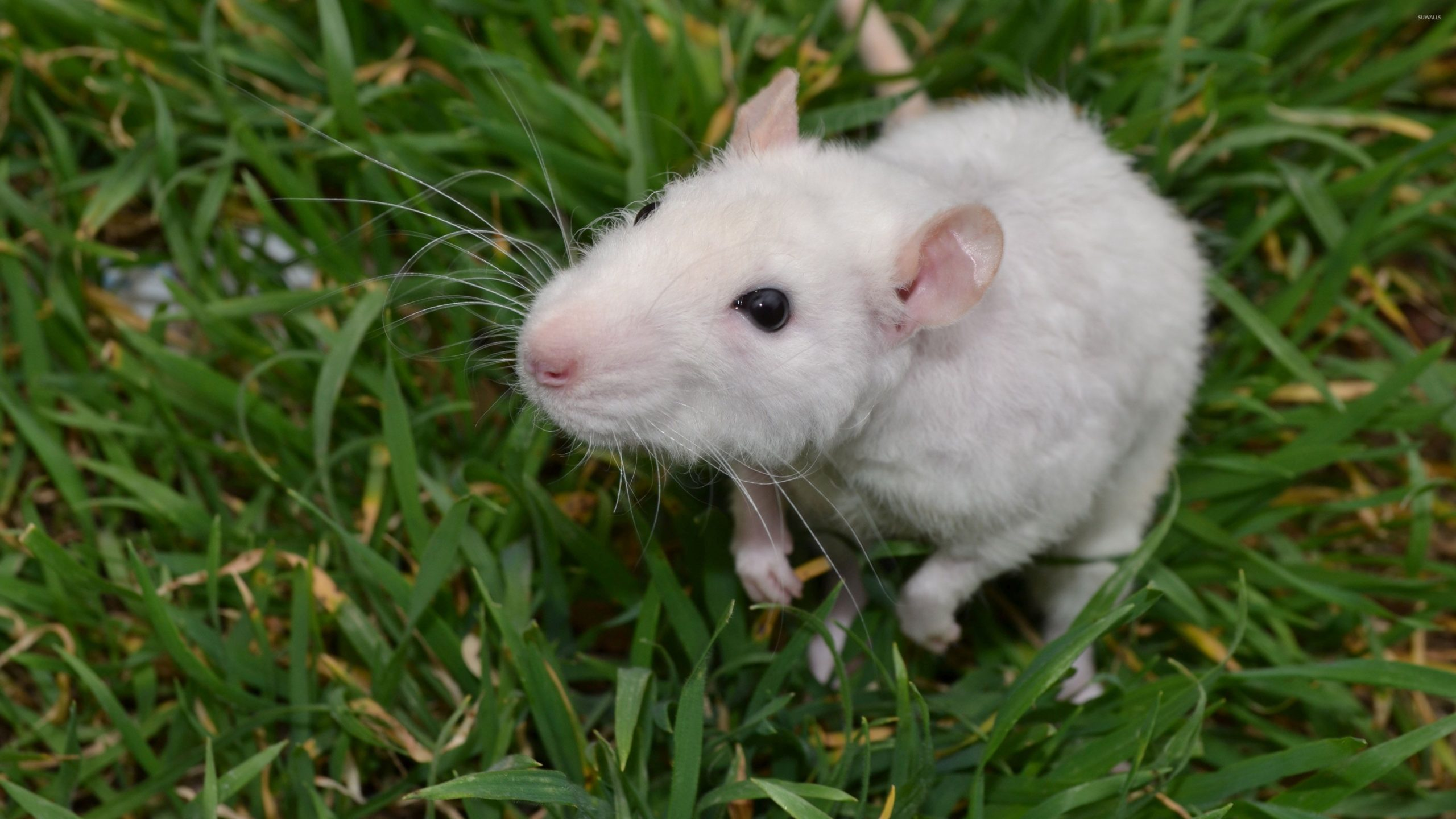 White Little Mouse In The Grass 50460 3840×2160 Wallpaper