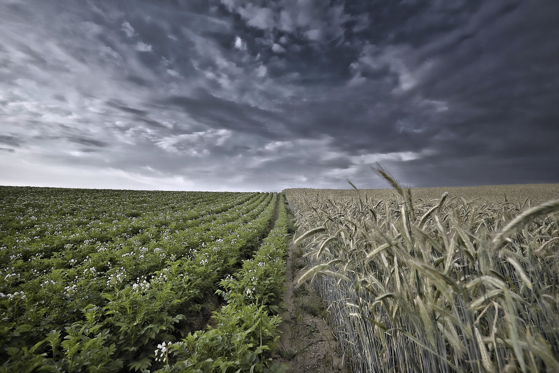 Download Beautiful Combimation Of Dark Sky And Green Wheat Wallpaper