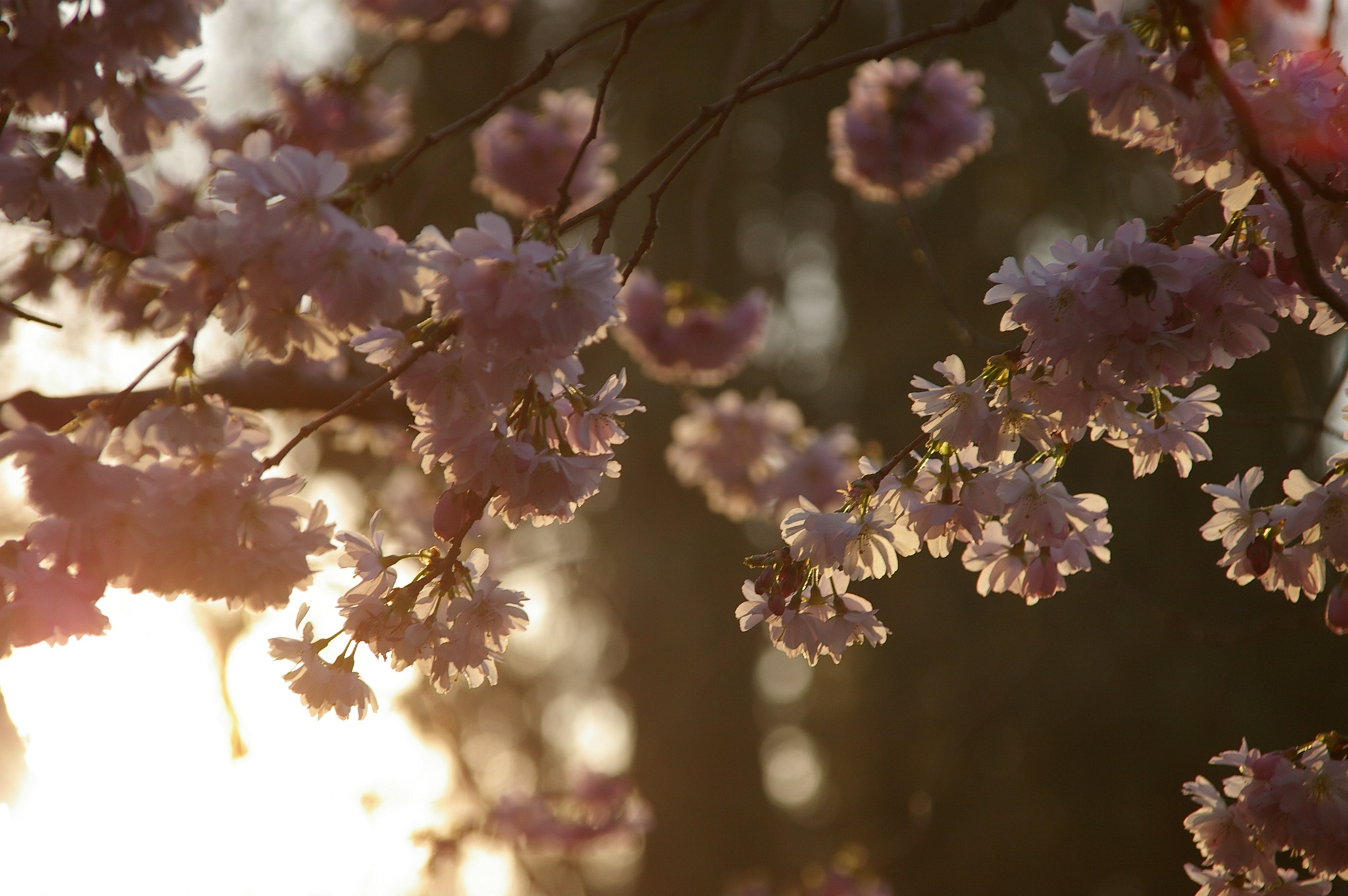 Download Brown Flowers Green Pink Spring Trees White